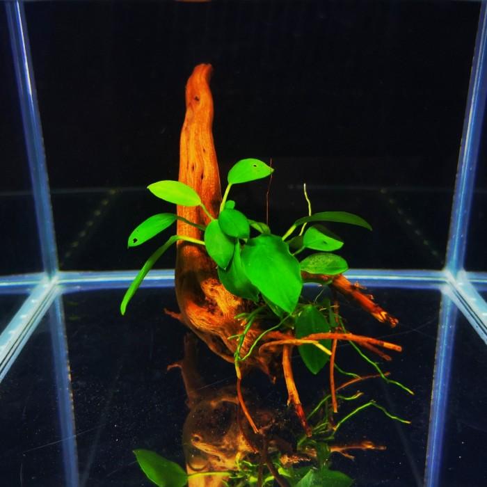 Anubias nana zaszczepiony na korzeniu Red Moor