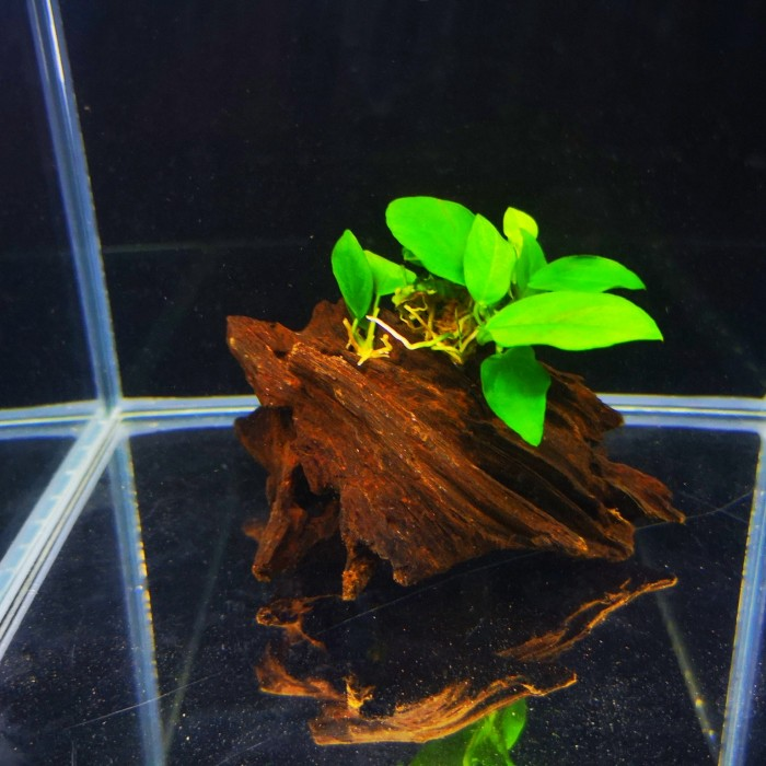 Anubias Nana na korzeniu mangrowca