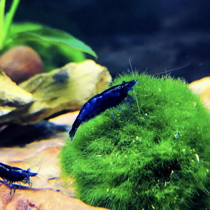 krewetka blue